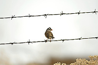 An adult White Crowned Sparrow sits on a fence wire in the United States you can almost always find this bird around farms and farmers fields.