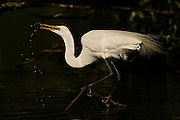 Great Egret Drinking