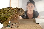 [captive] In this experiment, the Kea (Nestor notabilis) and the PhD student Amelia Wein need to pull different ends of a string simultaneously so that the Kea can reach a treat. The picture was taken in cooperation with the University of Vienna (UniVie) and University of Veterinary Medicine Vienna (VetMed). Sequence 1/18. | In diesem Versuch müssen der Kea (Nestor notabilis) und die Doktorandin Amelia Wein gleichzeitig an verschiedenen Enden eines Seils ziehen, damit der Kea an eine Belohnung herankommt. Das Bild wurde in Zusammenarbeit mit der Veterinärmedizinischen Universität Wien und der Universität Wien erstellt. Sequenz 1/18.