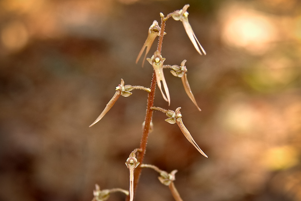 The delicate and tiny southern twayblade orchid in full bloom in Goethe State Forest. The reddish brown coloration of this winter bloomer makes an already small terrestrial orchid hard to find among the fallen leaves.