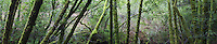 Mossy Forest Panoramic Photo, Cascade Canyon Open Space Preserve, California