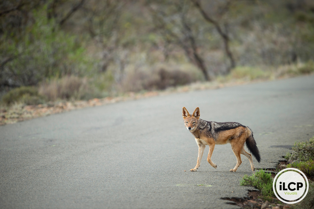 South Africa, Beaufort West, Western Cape, Karoo, Wild Black-backed jackal (Canis mesomelas)