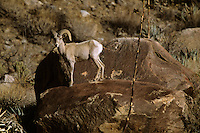 A male desert bighorn sheep (Ovis canadensis nelsoni) in Henderson Canyon.  Anza-Borrego Desert State Park, California.  Mar 2002.