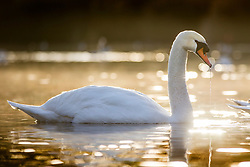 © Licensed to London News Pictures. 19/11/2019. Leeds UK. A Swans drink from the lake in the freezing temperatures at Golden Acre Park in Leeds at sunrise this morning in Yorkshire. Photo credit: Andrew McCaren/LNP