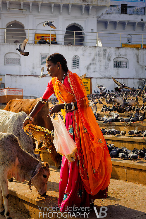 a women giving food to holy cow on ghats in pushkar, india