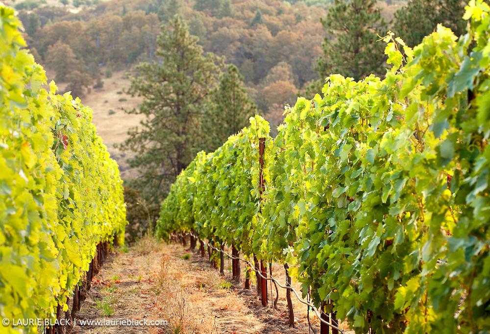Columbia Gorge vineyard