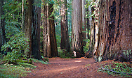 A young couple is dwarfed by giant Redwood trees.