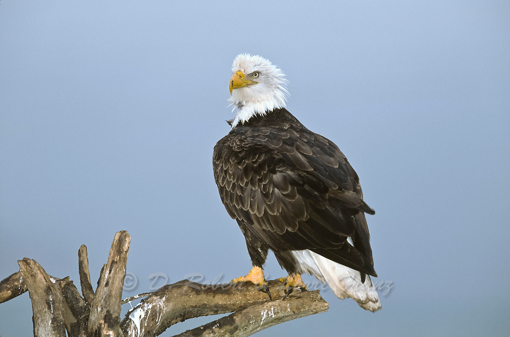 Adult bald eagle on perch