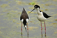 Black-necked Stilt (Himantopus mexicanus),  male and female in mating behaviour, Green Cay Nature Centre, Delray Beach, Florida, USA   Photo: Peter Llewellyn