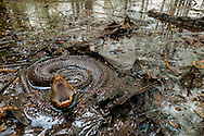 A cottonmouth (Agkistrodon piscivorus) showing off its namesake - Water Valley, Mississippi