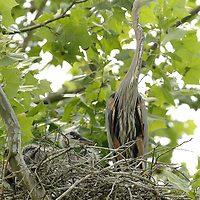 A great blue heron stood over its babies in the nest in a sycamore tree at a nesting site, also known as a rookery, along the Kentucky river palisades near Shaker Village at Pleasant Hill, Ky., on Friday, May 13, 2011. Shaker Village is offering two wildlife cruises to the blue heron rookery aboard their Dixie Belle paddleboat this spring.