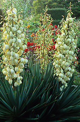 Yucca gloriosa in flower in the exotic garden at Great Dixter