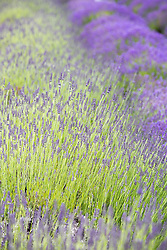 beautiful lavender field in full bloom