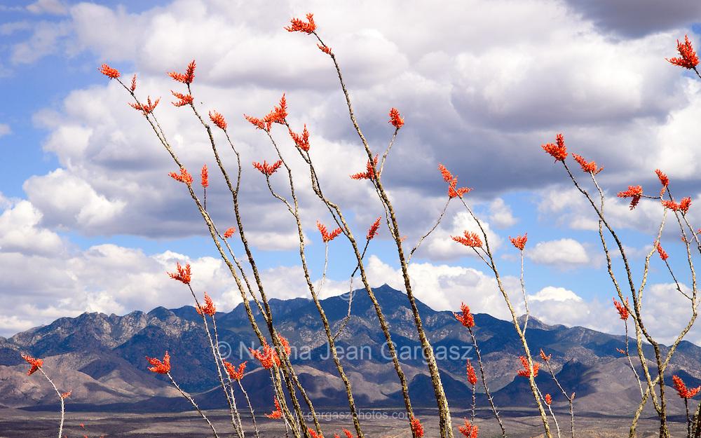 The Santa Rita Mountains are seen through ocotillo, (Fouquieria splendens), in bloom in Tubac, Arizona, USA.