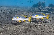 Yellow banded sweetlips-Gaterin à bandes jaunes (Plectorhinchus lineatus), Bali island, Indonesia.