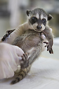 Raccoon <br /> Procyon lotor<br /> Four-week-old orphaned baby at wildlife rehabilitation center<br /> WildCare, San Rafael, CA