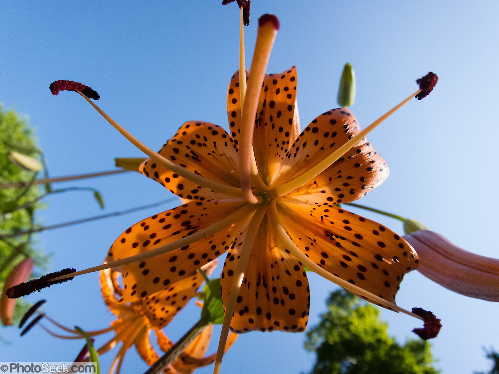 Seen against blue sky, stamens bear pollen in an orange lily flower with dark red spots in a Virginia garden, USA.