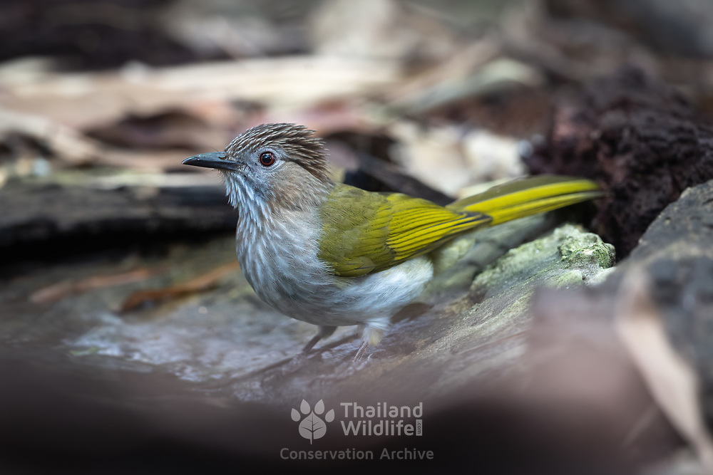 The mountain bulbul (Ixos mcclellandii) is a songbird species in the bulbul family, Pycnonotidae. It is often placed in Hypsipetes, but seems to be closer to the type species of the genus Ixos, the Sunda bulbul.