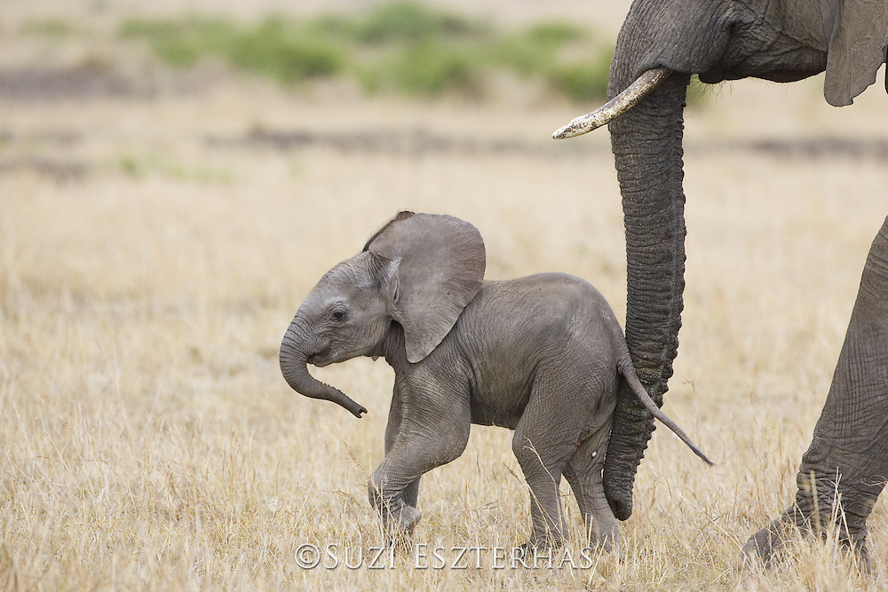 African Elephant<br /> Loxodonta africana<br /> Young calf (less than 3 weeks old)<br /> Masai Mara Conservancy, Kenya