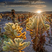 Sunset over the cholla cactus garden at Joshua Tree National Park, California.