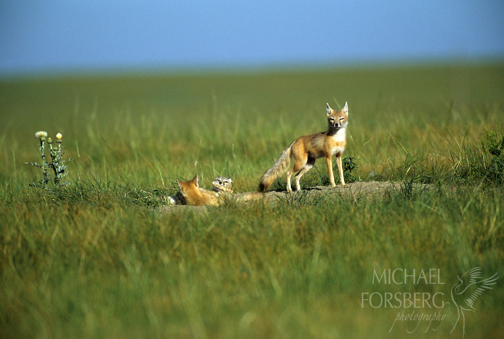 Box Butte County, Nebraska..In early morning, swift fox kits and adult female emerge from their den