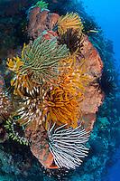 Colorful Crinoids on a Barrel Sponge..Shot in Indonesia..