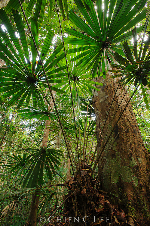 The Borneo rainforest understory is home to a great diversity of fan palms, with nearly 50 species recorded. Many, including this species (Licuala petiolulata), are endemic to the island. Sarawak, Malaysia.