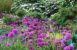 Mass planting of Allium hollandicum and Allium hollandicum 'Purple Sensation' at Glen Chantry