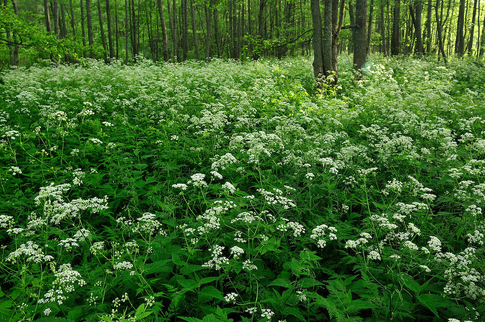 (Apiaceae sp.) Slitere National Park, Latvia