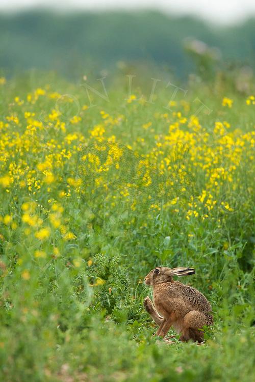 European Hare (Lepus europaeus) adult, cleaning itself in margin alongside oilseed rape crop, Norfolk, UK.