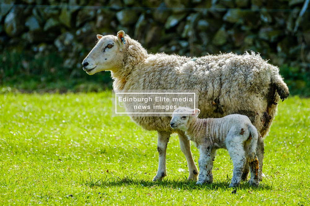 Sheep with lamb in spring<br /> <br /> (c) Andrew Wilson | Edinburgh Elite media