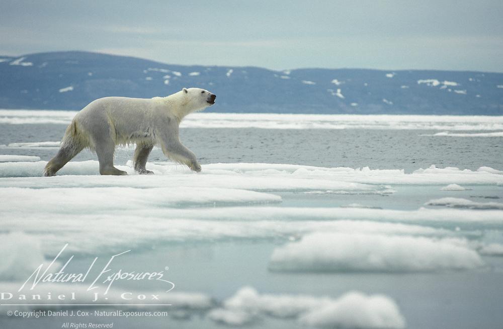 Polar Bear on the ice flow. Northwest Territories, Canada
