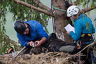 White Tailed Eagle (Haliaeetus albicilla) pair of chicks in nest being ringed by ringers.  male and female scientist doing biological measurements, measuring beaks