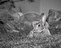 Rabbit with a red eye at the Boulder Marriott Residence Inn. Late spring nature in Colorado. Image taken with a Nikon D2xs camera and 200 mm f/4 macro lens (ISO 400, 200 mm, f/8, 1/60 sec).