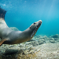 Mexico, Baja del Sur, Underwater view of California Sea Lion (Zalophus californianus) swimming in shallows near Los Islotes in Espiritu Santo Biosphere Reserve in Sea of Cortez