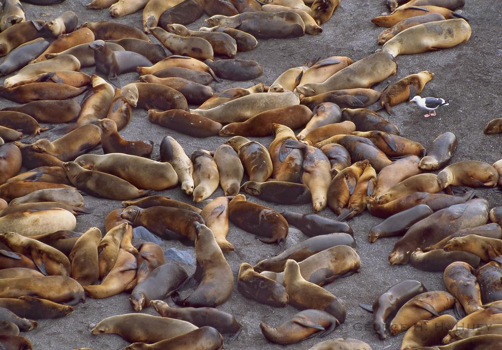 350603-1026 ~ Copyright: George H.H. Huey ~ California sea lions sleeping, Santa Barabara Island, Channel Islands National Park, California,