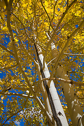 Camp Hale, CO:  Aspens just beginning to turn color in late summer along US 24, part of Colorado's Top of the Rockies Scenic Byways. Color is site-accurate; has not been saturated in Photoshop.