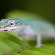 Anolis lizard, Corkscrew Swamp Sanctuary, Florida.