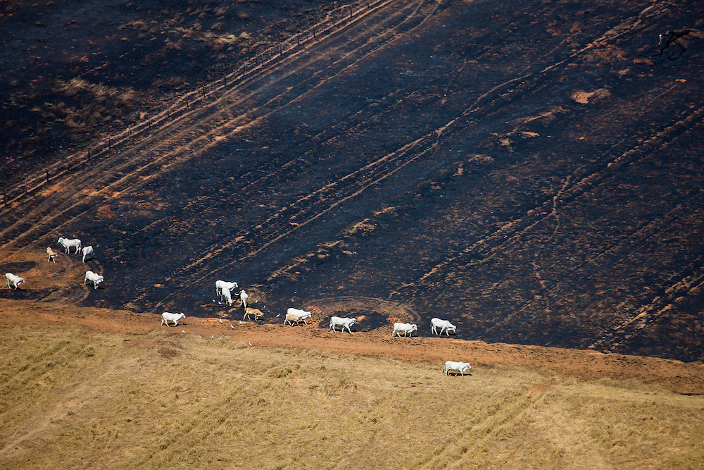 Cattle on freshly burnt grazeland on a ranch in Mato Grosso, Brazil, August 7, 2008. Daniel Beltra/Greenpeace