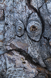 Face in the Bark, Mt. Ashland, Rogue River–Siskiyou National Forest, Oregon, US