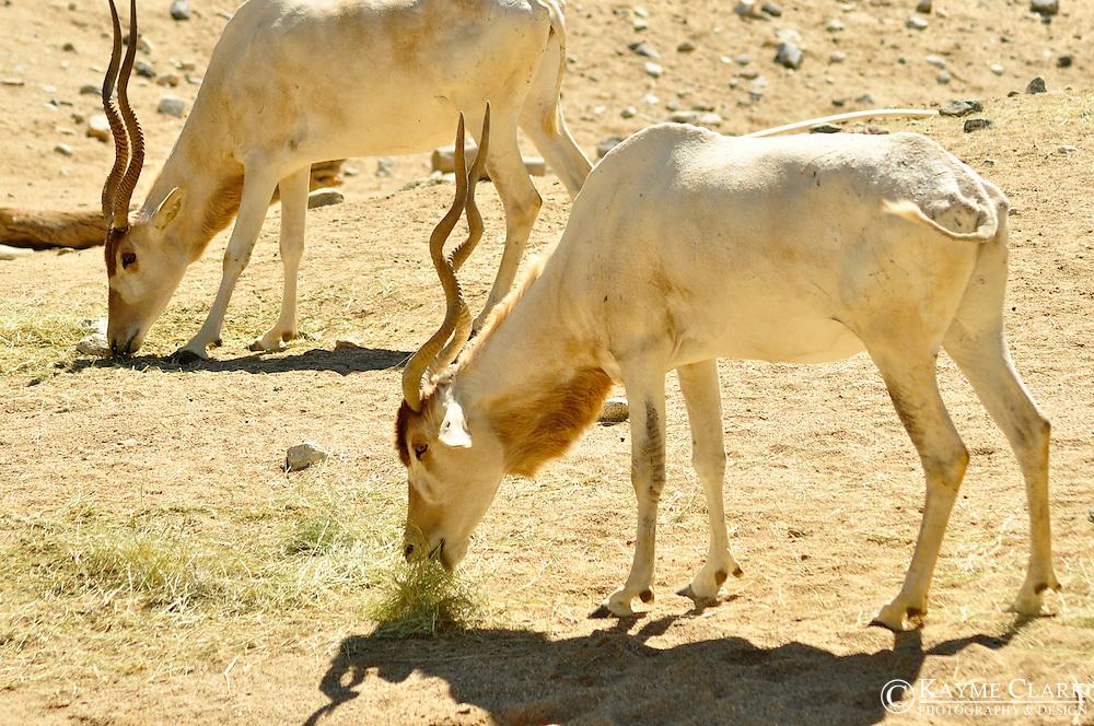 Addax (Addax nasomasculatus) or screwhorn antelope