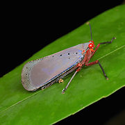 Kalidasa nigromaculata lantern bug in Pang Sida National Park, Thailand.