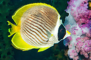 Panda Butterflyfish (Chaetodon adiergastos)<br /> Raja Ampat<br /> West Papua<br /> Indonesia
