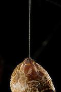 Hinterleib und Seidenfaden einer weiblichen Goldenen Radnetzspinne (Nephila clavipes)