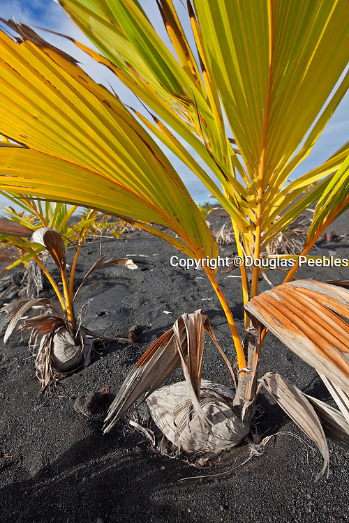 Coconut trees sprouting in lava field, Kalapana, Puna, Island of Hawaii