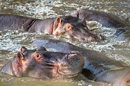 Several Common hippopotamus (Hippopotamus amphibius)  bathe in the muddy water at Maasai Mara National Park, Kenya.