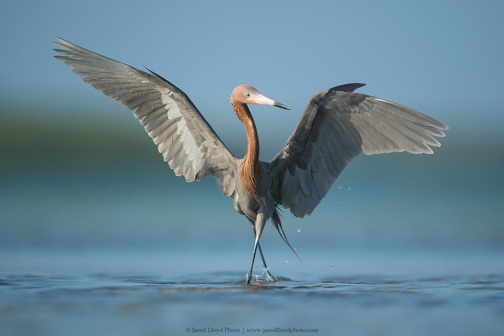 A reddish egret dances in the shallows as it actively attempts to scare of fish to to forage