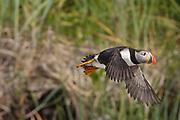 Atlantic puffin (Fratercula arctica)<br />Mingan Archipelago National Park Reserve<br />QUebec<br />Canada