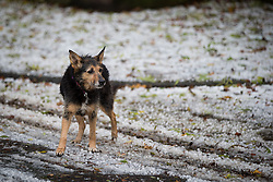 © Licensed to London News Pictures . 09/11/2013 . Manchester , UK . A dog looks around as the landscape is dramatically transformed in a matter of minutes by the loud and heavy hail storm . A freak hail storm in Manchester covers the streets with large hailstones as loud rolling thunder is heard . Photo credit : Joel Goodman/LNP