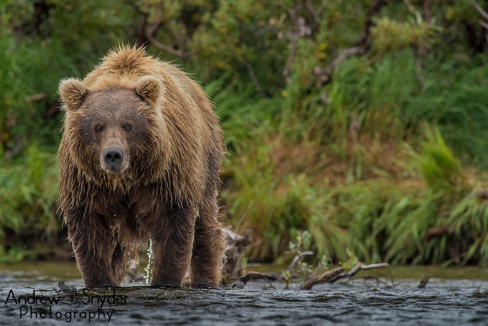Brown bear (Ursus arctos) - Katmai, Alaska